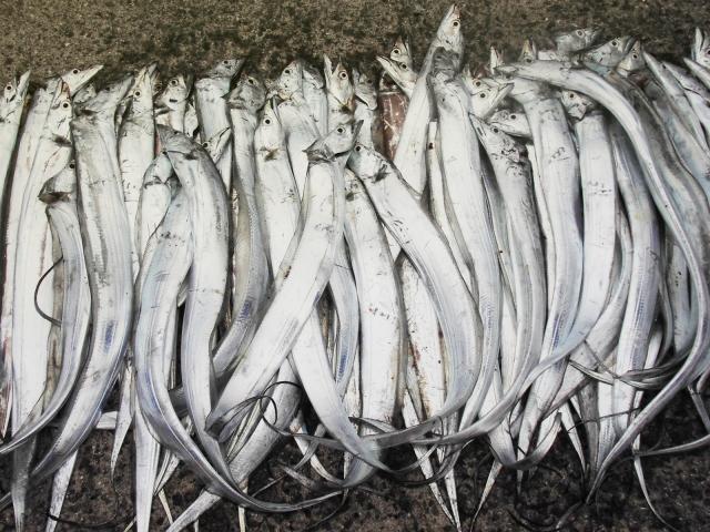 大量に釣られたタチウオ